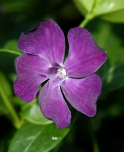 Kleinblättriges rotviolettes Immergrün, Vinca minor Rubra