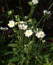 Herbst Anemone Whirlwind, Anemone japonica Whirlwind