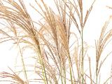 Chinaschilf Flamingo, Miscanthus sinensis Flamingo