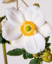 Herbst Anemone Andrea Atkins