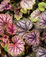 Garten-Silberglöckchen Beauty Color, Heuchera micrantha Beauty Color