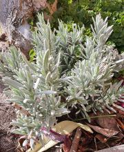 Lavendel Blue Cushion, Lavandula angustifolia Blue Cushion ®