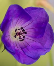 Storchschnabel Blue Sunrise, Geranium wallichianum Blue Sunrise