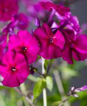 Hohe Flammenblume Purple Kiss, Phlox paniculata Purple Kiss