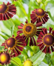 Sonnenbraut Ruby Tuesday ®, Helenium cultorum Ruby Tuesday ®