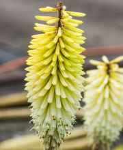Fackellilie Ice Queen, Kniphofia uvaria Ice Queen