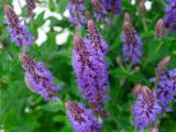 Blüten-Salbei Sensation Deep Blue, Salvia nemorosa Sensation Deep Blue